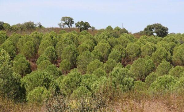 Umbrella Pine auf 2.6 ha in der Nähe von Comporta